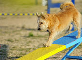 Terrier in Agility competition — Stock Photo
