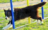 Border Collie en concurso de Agility — Stock Photo