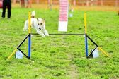 Fox Terrier in Agility Test — Stock Photo