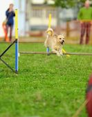 Dog Agility in Testing — Stock Photo