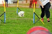 Westies in Agility Test — Stock Photo
