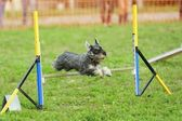 Median Schnauzer Agility Test — Stock Photo