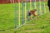 ベルギーの羊飼いマリノア敏捷性のテスト — ストック写真