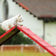 Stock Photo: Westies in Agility Test