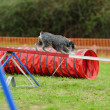 Stock Photo: MediSchnauzer Agility Test