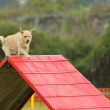 Stock Photo: Dog Agility in Testing