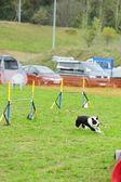 边境牧羊犬敏捷性测试中 — 图库照片