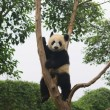Panda, Chengdu, Sichuan, China — Stock Photo