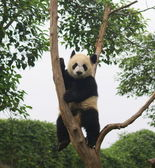 Panda, Chengdu, Sichuan, China — 图库照片