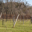 Stock Photo: Vineyard in Canton, Ohio