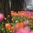 Foto Stock: Tulips in Chicago
