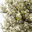 Dogwood Tree - Stock Photo