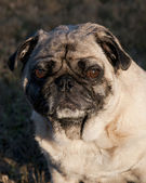 Pug Outside — Stock Photo