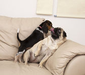 Pug and Beagle Playing — Stock Photo