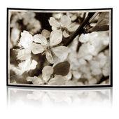 Grunge plum blossoms — Stock Photo