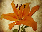 Textured Lily — Stock Photo