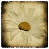 Grunge camomile — Stock Photo