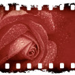 Grunge rose background — Stock Photo