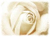 Grunge background whith white rose — Stock Photo