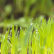 Green grass with earth — Stock Photo #9650983