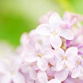 Syringa flower — Stock Photo