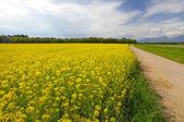 řepkové pole — Stock fotografie