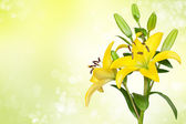 Yellow lily flower — Stock Photo