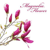 Magnolia Flower — Stock Photo