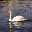 Swan Gliding through the Water — Stok fotoğraf