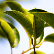 Thick Mangrove Leaves Close-Up — Stock Photo #8004513