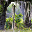 Trees with Hanging Moss in the Everglades — Stock Photo