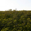 Seemingly Boundless Mangrove Forrest — Stock Photo