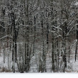 Snowy Winter Woods — Stock Photo
