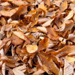 Fallen beech leaves tightly covering the ground in Fall. — Stock Photo