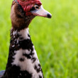 Stock Photo: Head and Neck of Curious Goose Semi-Profile