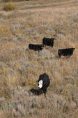 Cattle on ranch — Foto Stock