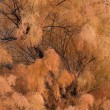 Tamarisk in autumn — Stock Photo