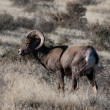 Bighorn sheep at the base of the Colorado National Monument — Foto Stock