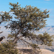 Juniper on the Rim of the Colorado National Monument — Stock Photo