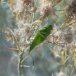Katydid — Stock Photo
