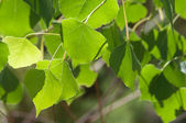 Summer Cottonwood Leaves — Stock Photo