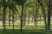 夏エルムの森 — ストック写真