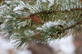 Pine Bough with Snow — Stock Photo