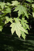 Green Maple Leaves — Foto Stock