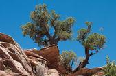 Utah Juniper — Stock Photo