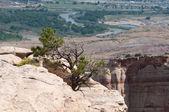 Pinyon Pine in Colorado National Monument — Stock Photo