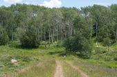 Summer Aspen Woods — Stock Photo