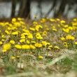 Field of coltsfoot — Stock Photo