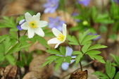 Anemone in a siege of violets — Stock Photo