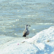Seagull in winter at the sea — Stock Photo